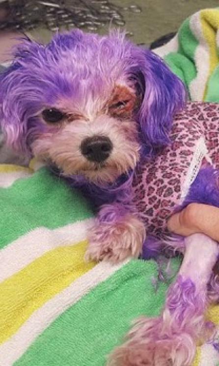 Cachorro tem seus pelos pintados de roxo e fica com queimadura química na pele