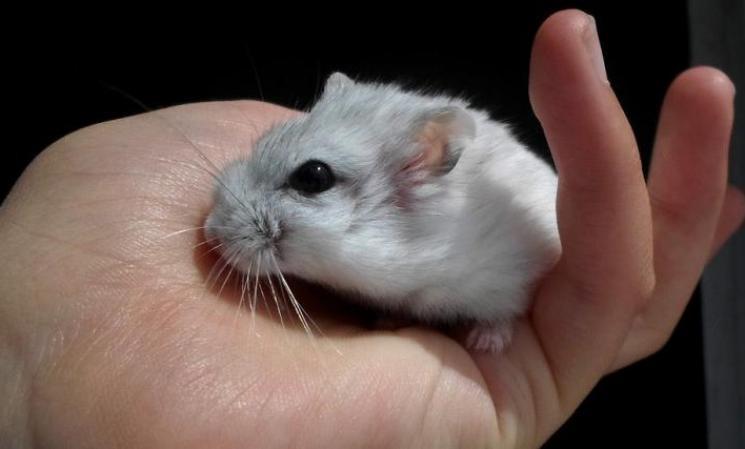 Cuidados de hamster