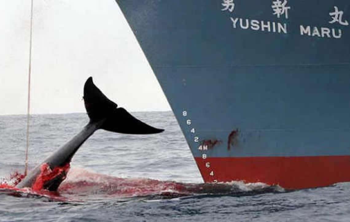 Comissão Baleeira Internacional aprova projeto brasileiro para proteger baleias