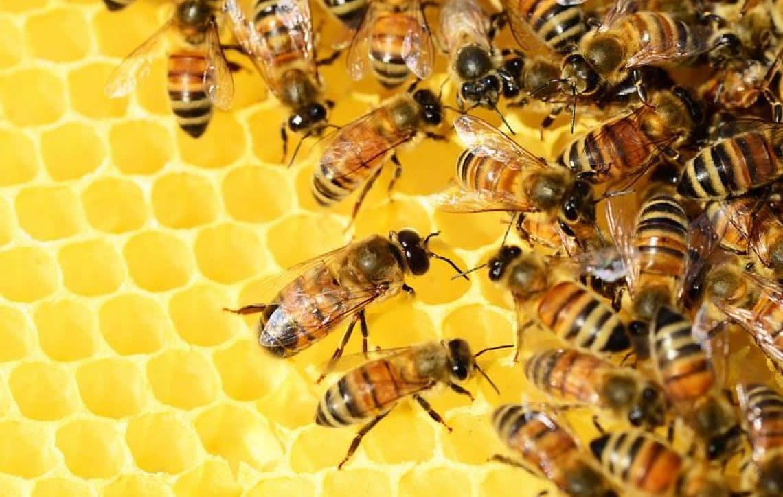 Resultado de imagem para desaparecimento das abelhas