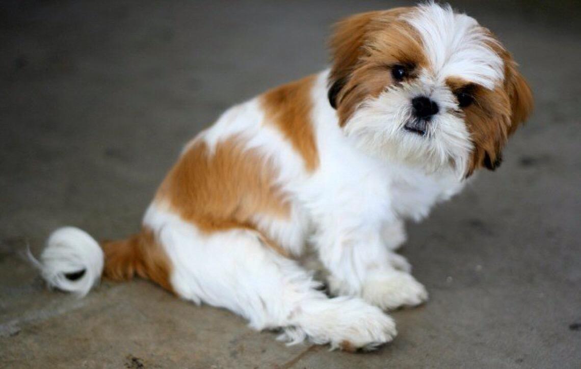 9 raças de cachorros roubados e mais visados por ladrões