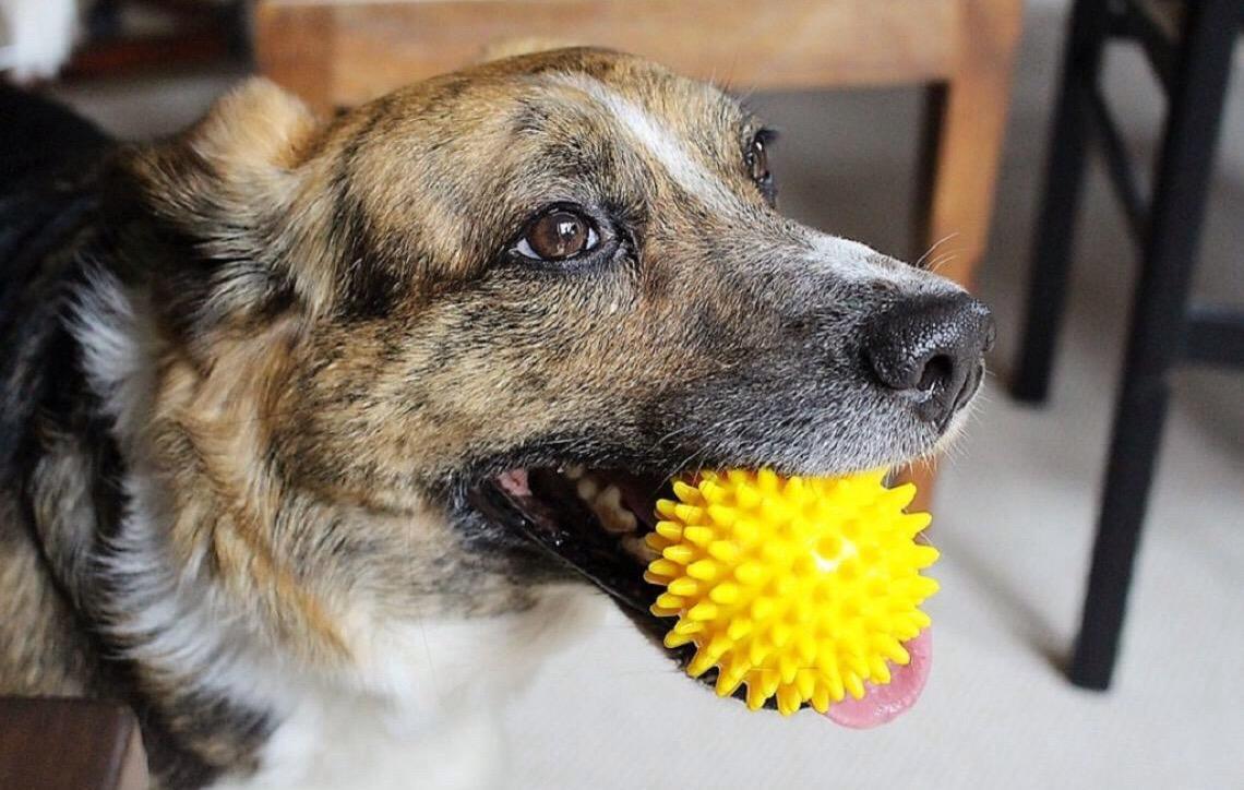 Brinquedos para cachorro são muito importantes para o desenvolvimento do animal