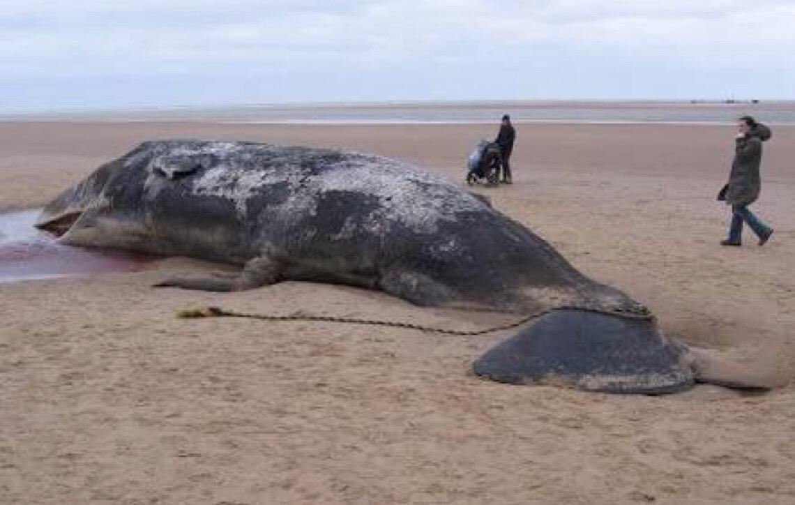 Cachalote é encontrado morto com seis quilos de plástico no estômago