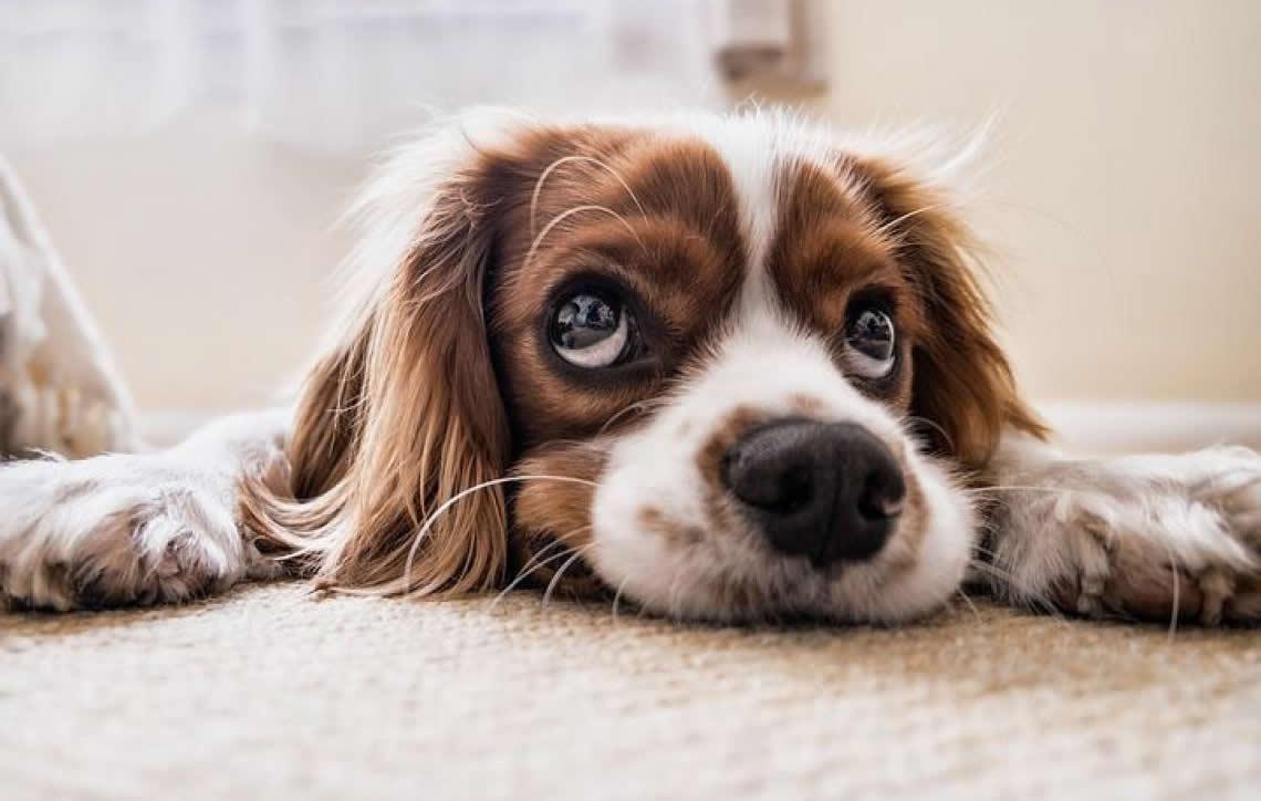Ansiedade por separação em cães
