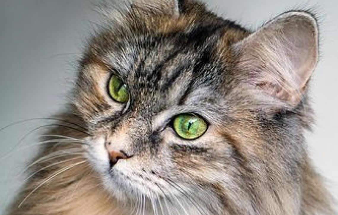 """Toxoplasmose: mitos e verdades sobre a chamada """"doença do gato"""""""