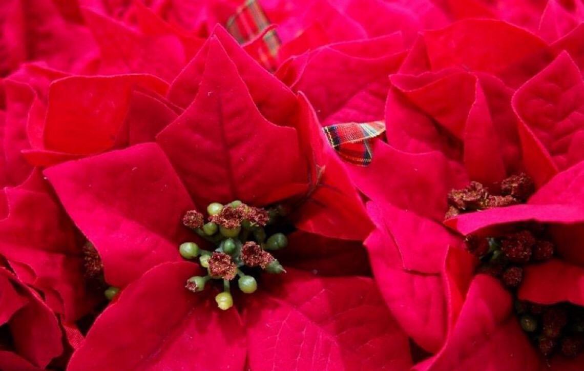Planta de Natal é venenosa para pets; saiba o que fazer em caso de intoxicação