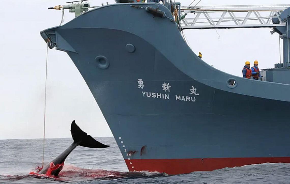 Caça à baleia, o Japão, confusões, e a Antártica