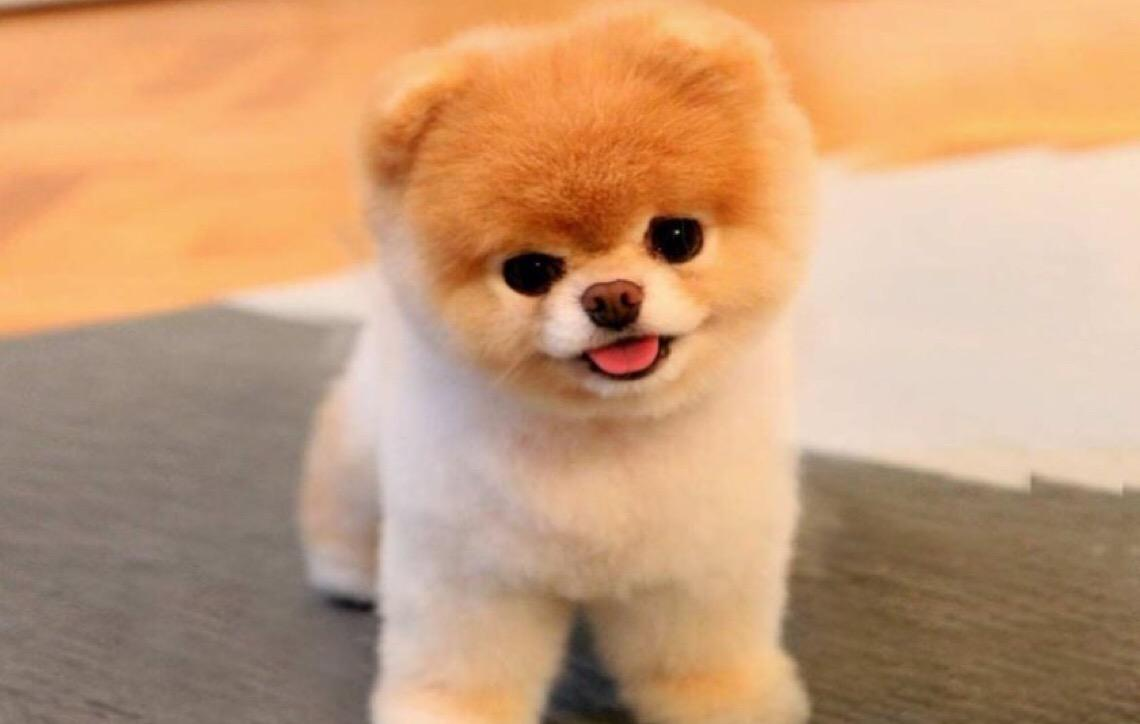Boo, cão 'mais fofo do mundo', morre de 'coração partido'