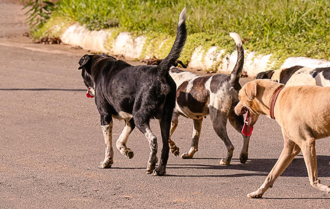 Cães de centros urbanos também estão suscetíveis à leptospirose