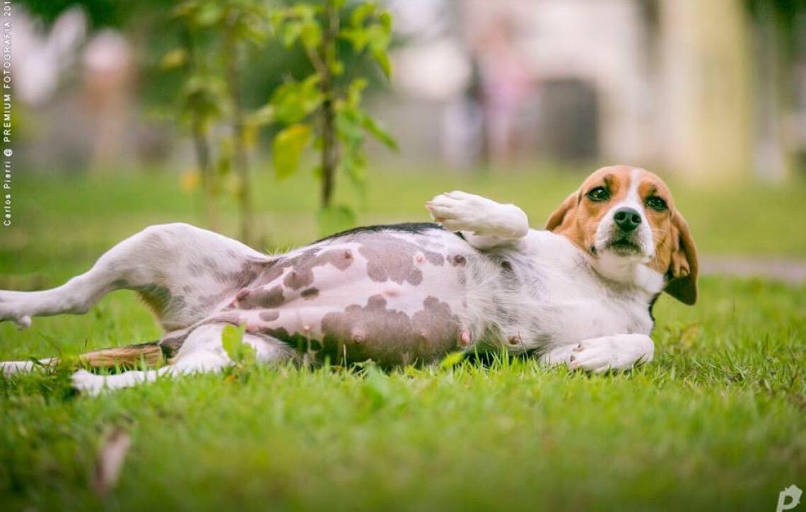 Gravidez psicológica canina. Como acontece?