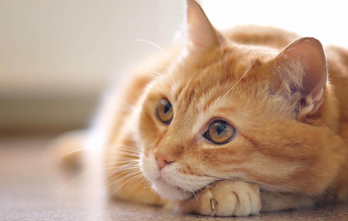 A rinotraqueíte felina é uma doença que causa problemas respiratórios nos bichanos