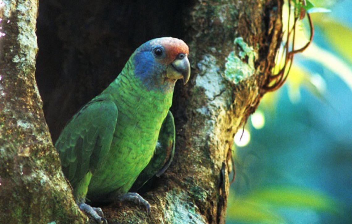 Fatores climáticos podem ter influenciado na reprodução do papagaio-de-cara-roxa