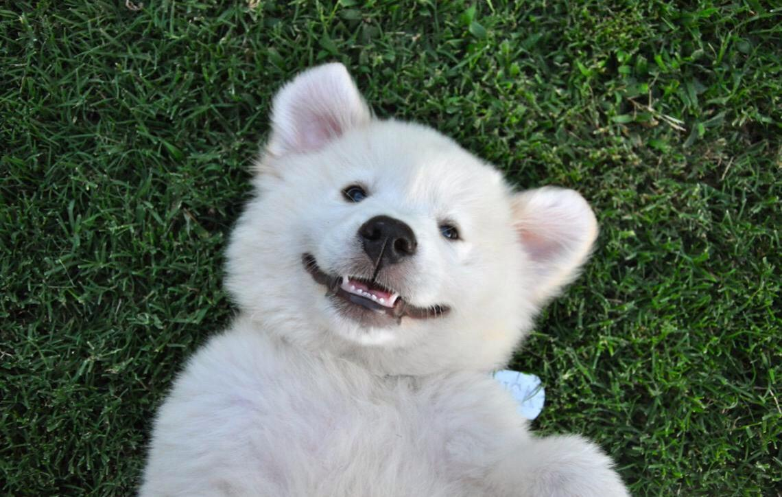Os cachorros dão risadas