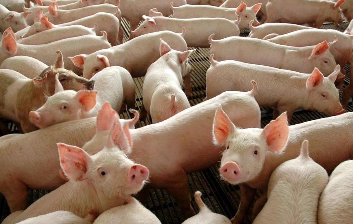 Abate de suínos no Brasil fecha 2018 com recorde
