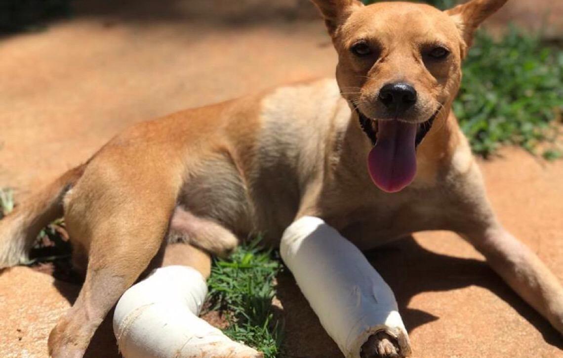 Olavo, cão jogado de janela em Brasília, tem alta e agora precisa de um lar