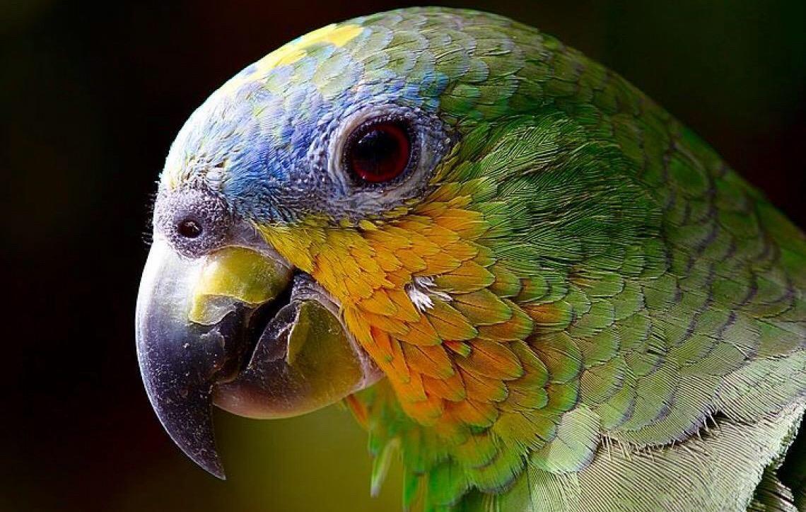 Psitacose: a doença transmitida pelas aves para os humanos