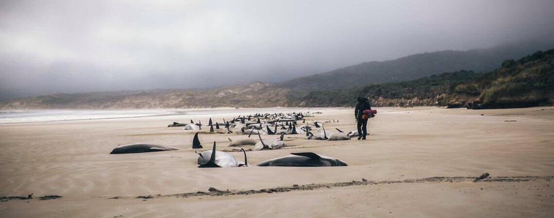 Ilha na Nova Zelândia se torna cemitério de baleias