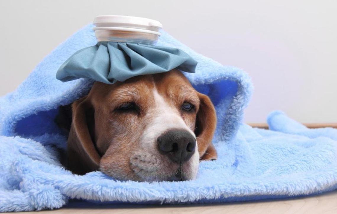 Como saber se o cachorro está com febre