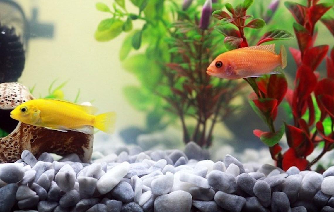 Peixe: seu animal de estimação
