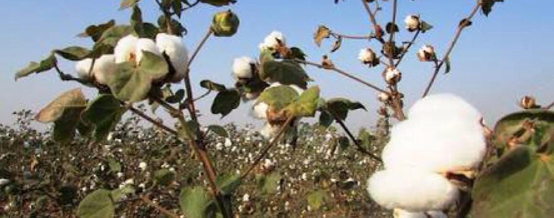Brasil passa Índia e é 2º maior exportador de algodão no mercado internacional