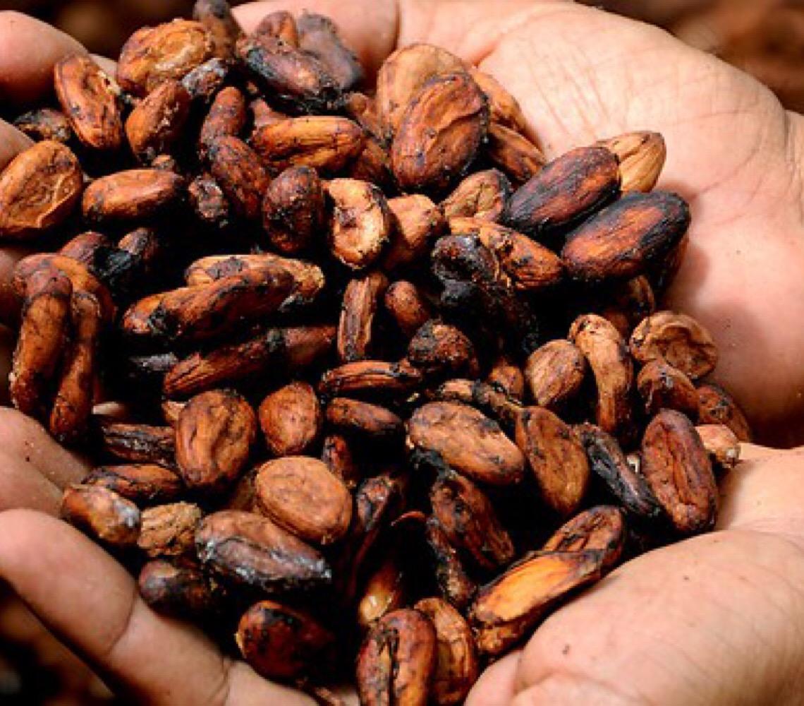 Cacau e chocolate agroecológico. Conheça a produção que cresce no norte do Brasil