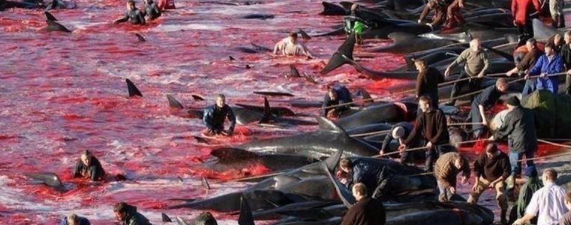 """ONG estima que mais de 200 baleias e golfinhos foram mortos no """"tradicional"""" massacre nas Ilhas Faroe"""