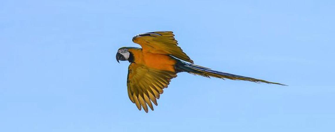 Acordo fechado. Extintas, ararinhas-azuis mantidas em cativeiro na Alemanha virão para o Brasil