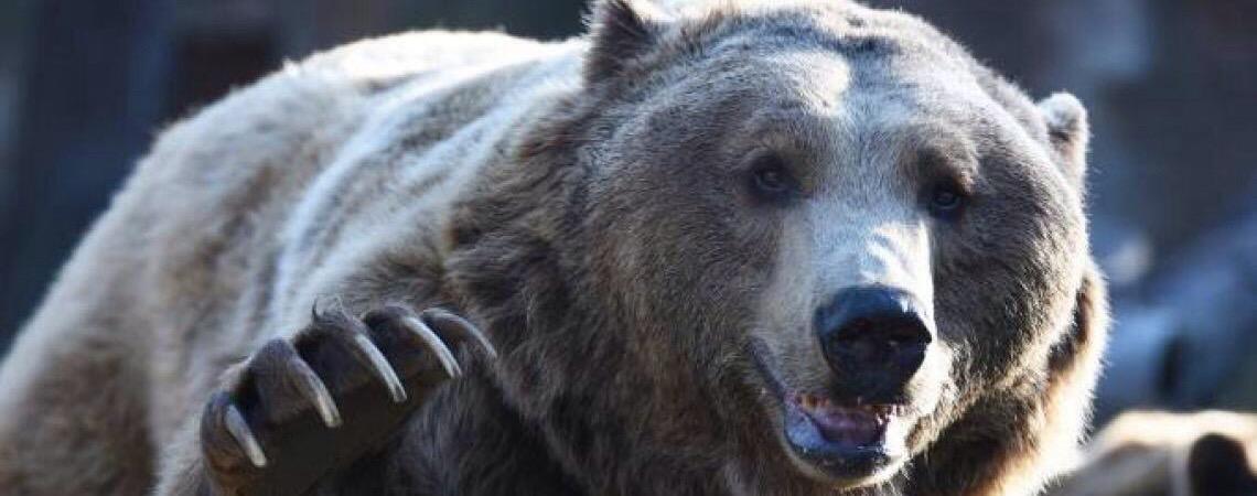 Dado como extinto em Portugal, urso pardo rouba 50 kg de mel