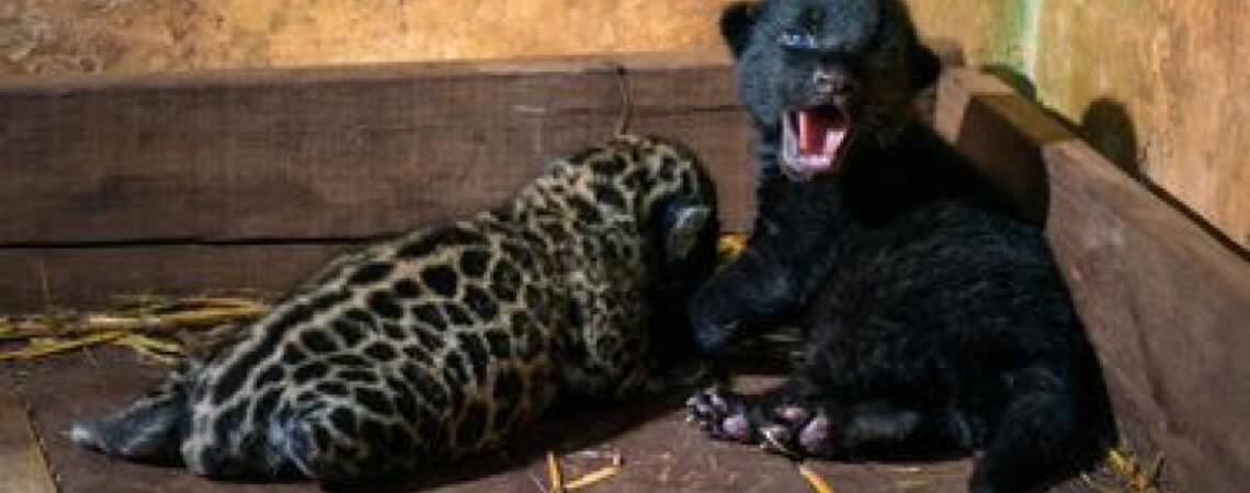 No Paraná. Mais 2 filhotes de onça-pintada nascem na reserva de Itaipu