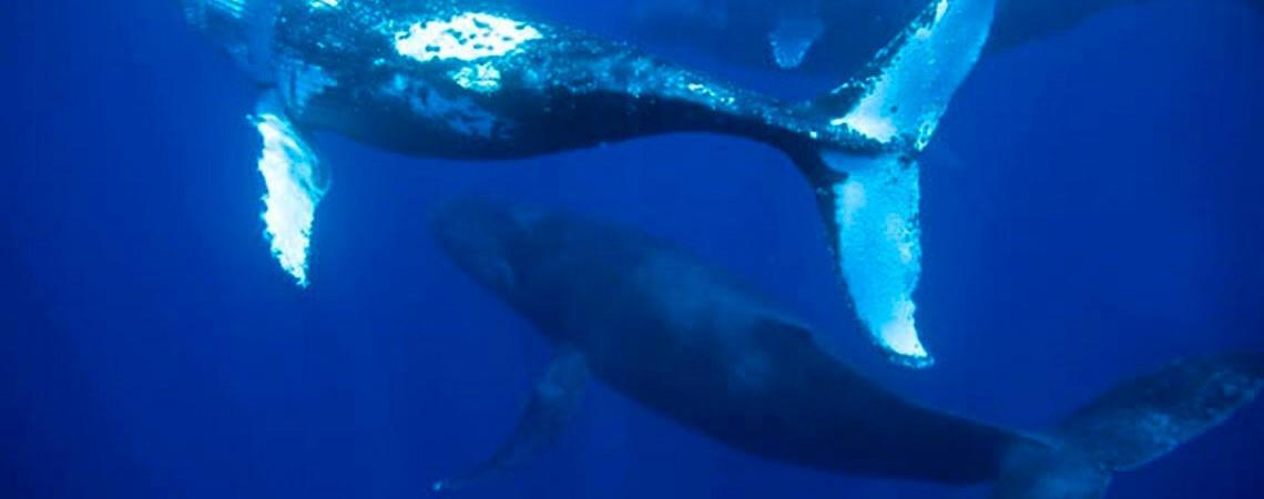 Baleias se aproximam do Porto de Santos em seu processo migratório