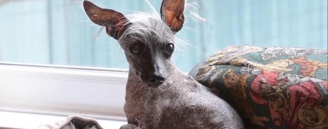 Conheça o ex cachorro mais feio do mundo e seus concorrentes