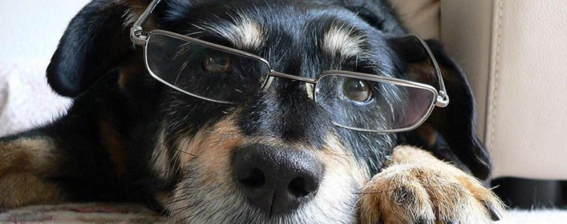 Cachorros idosos precisam de atenção especial