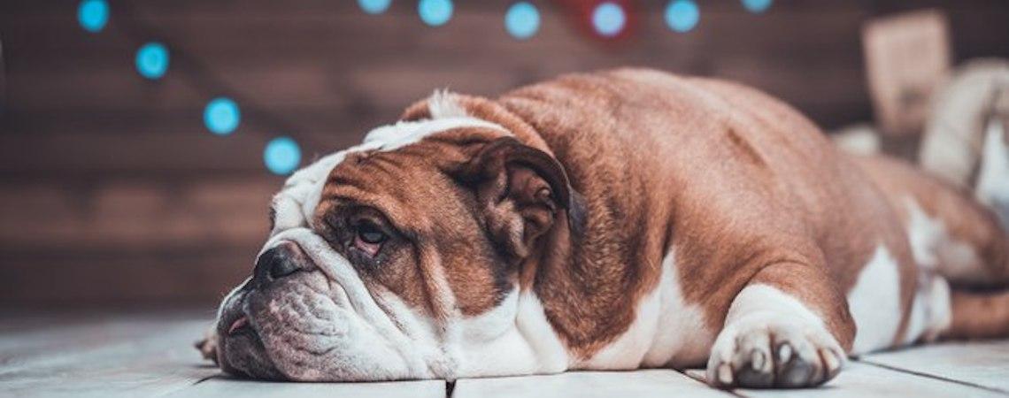 Seu pet tem uma protuberância na pele? Pode ser lipoma em cães