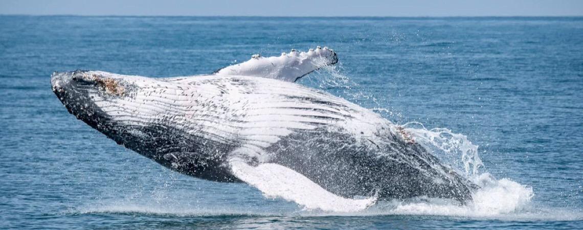 Baleias em Ilhabela. Uma surpreendente descoberta