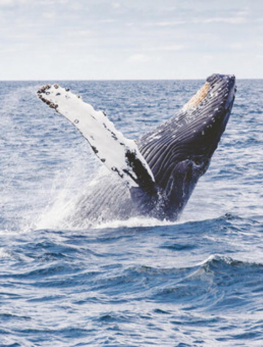 Baleias podem ajudar a combater a mudança do clima