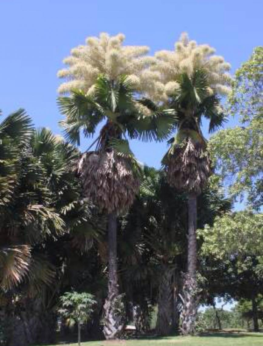 Floresce palmeira no Aterro do Flamengo, obra de Burle Marx, que não chegou a vê-la florida