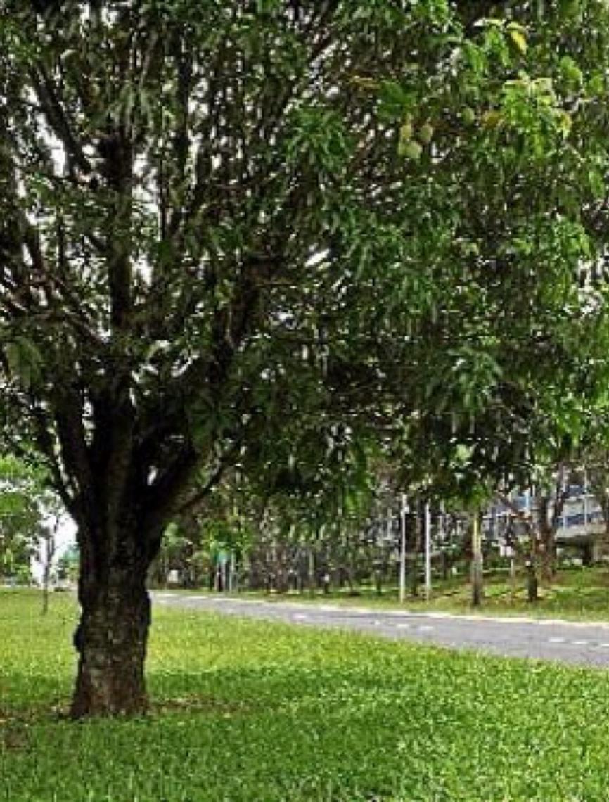 À espera da colheita. Os pés de manga espalhados por Brasília estão abarrotados