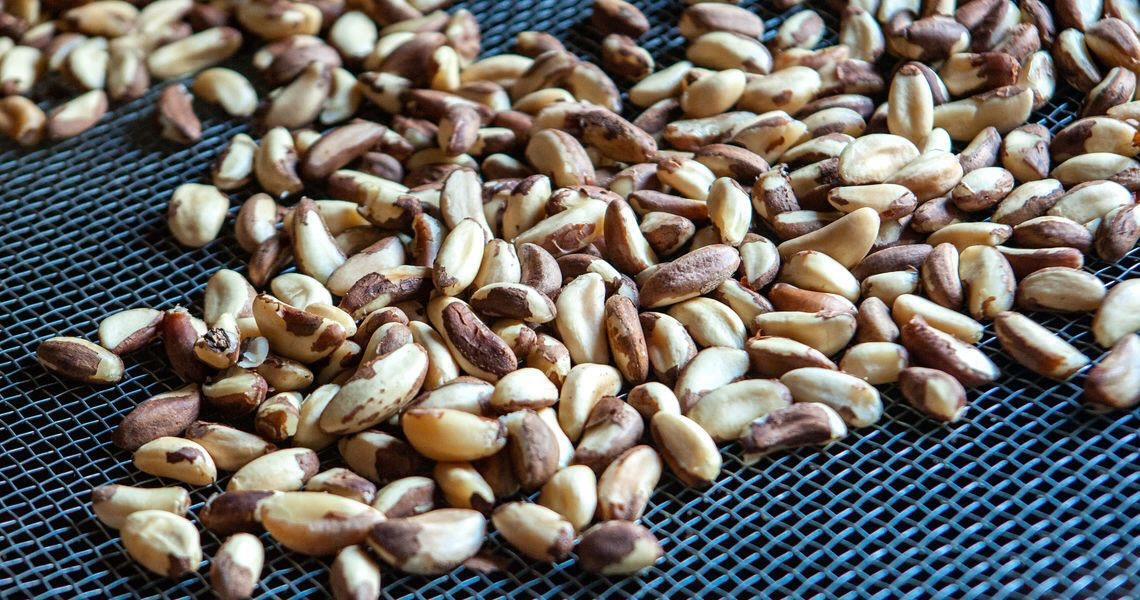 Produção de castanhas por indígenas de Rondônia é recorde em 2019