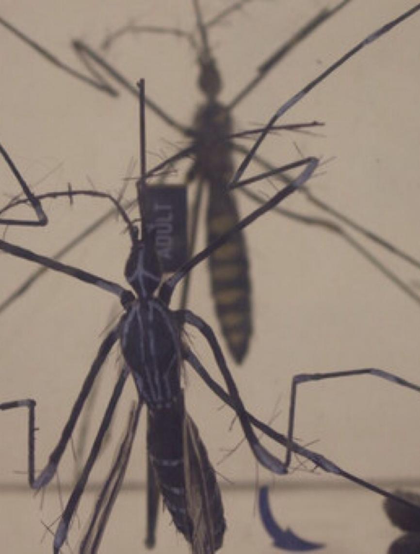 Brasil aplicará técnica que esteriliza mosquito da dengue em 2020