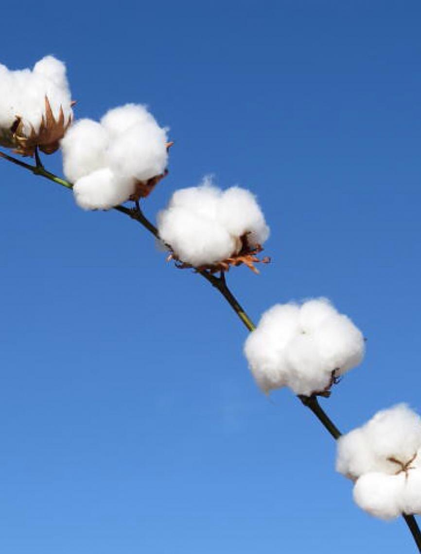 Produção de algodão orgânico em assentamento na Paraíba ganha prêmio nacional