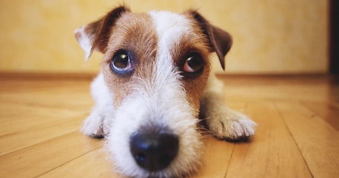 Cães sabem qual expressão facial conquista humanos, revela pesquisa