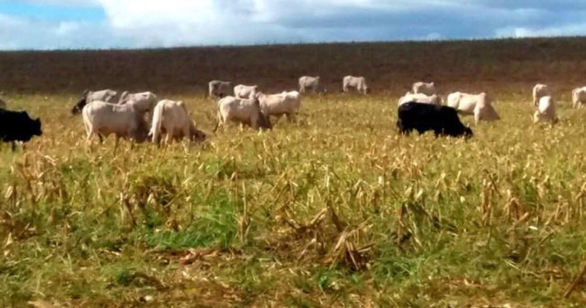Integração lavoura-pecuária no Distrito Federal aumenta lucros no campo