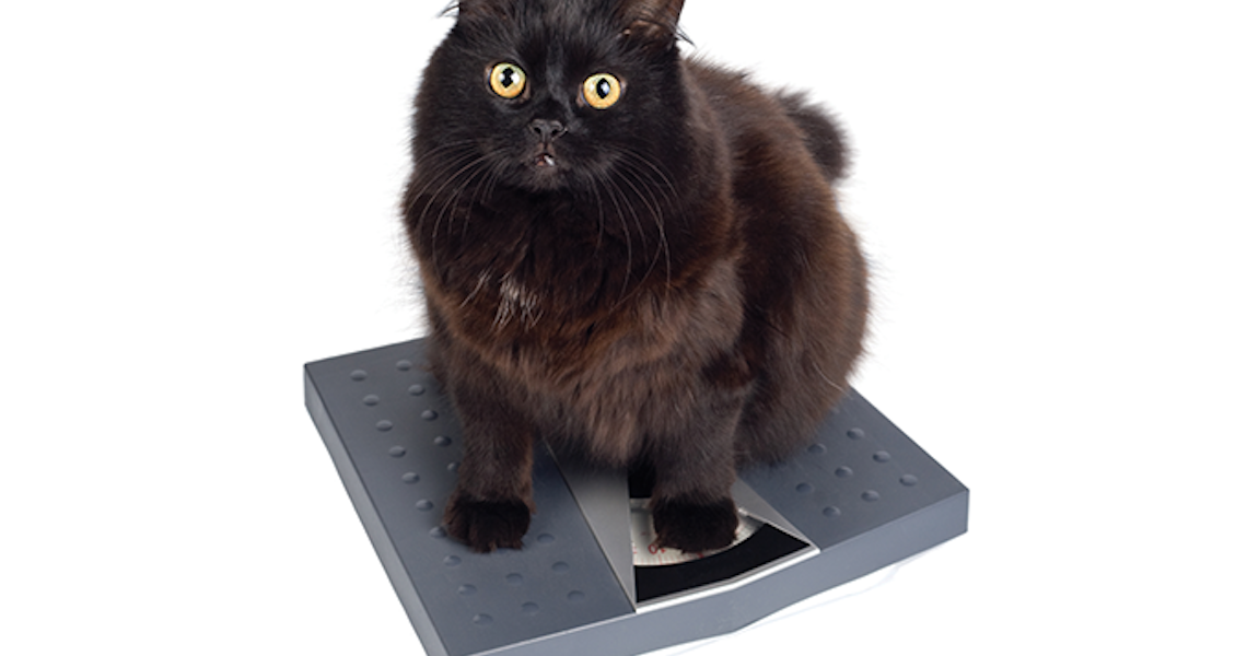 O peso dos gatos deve ser monitorado