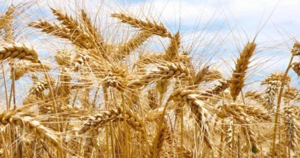 Cultivo de trigo em 2020 pode se elevar no Brasil, aponta Cepea