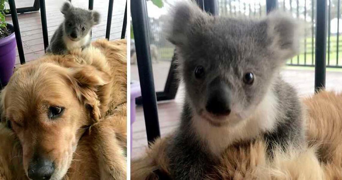 Cadela surpreende dono, após levar para casa coala bebé que salvou dos incêndios