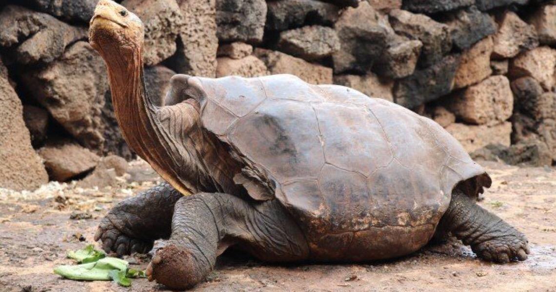 Tartaruga centenária cuja libido ajudou a salvar espécie se aposenta em Galápagos