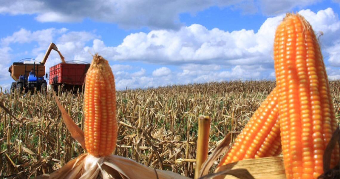 Milho transgênico contamina sementes crioulas de agricultores familiares