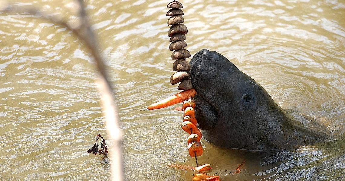 Peixe-boi, nova espécie descoberta em Rondônia