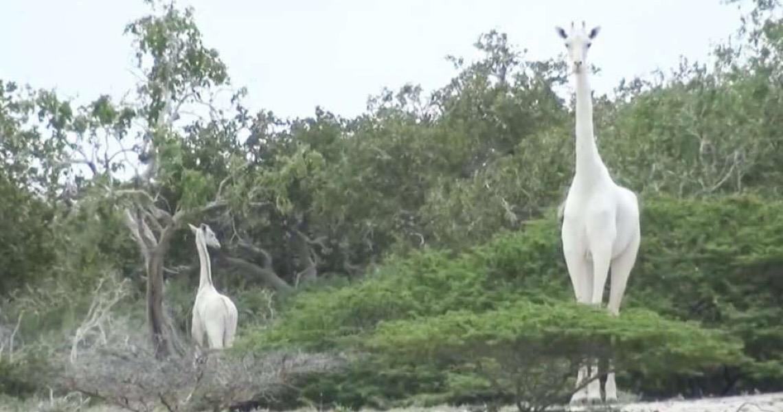 Caçadores no Quênia matam duas das últimas três girafas brancas do mundo