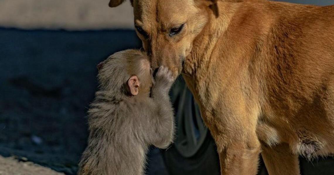 Cachorra grávida acolhe filhote de macaco que teve pais envenenados